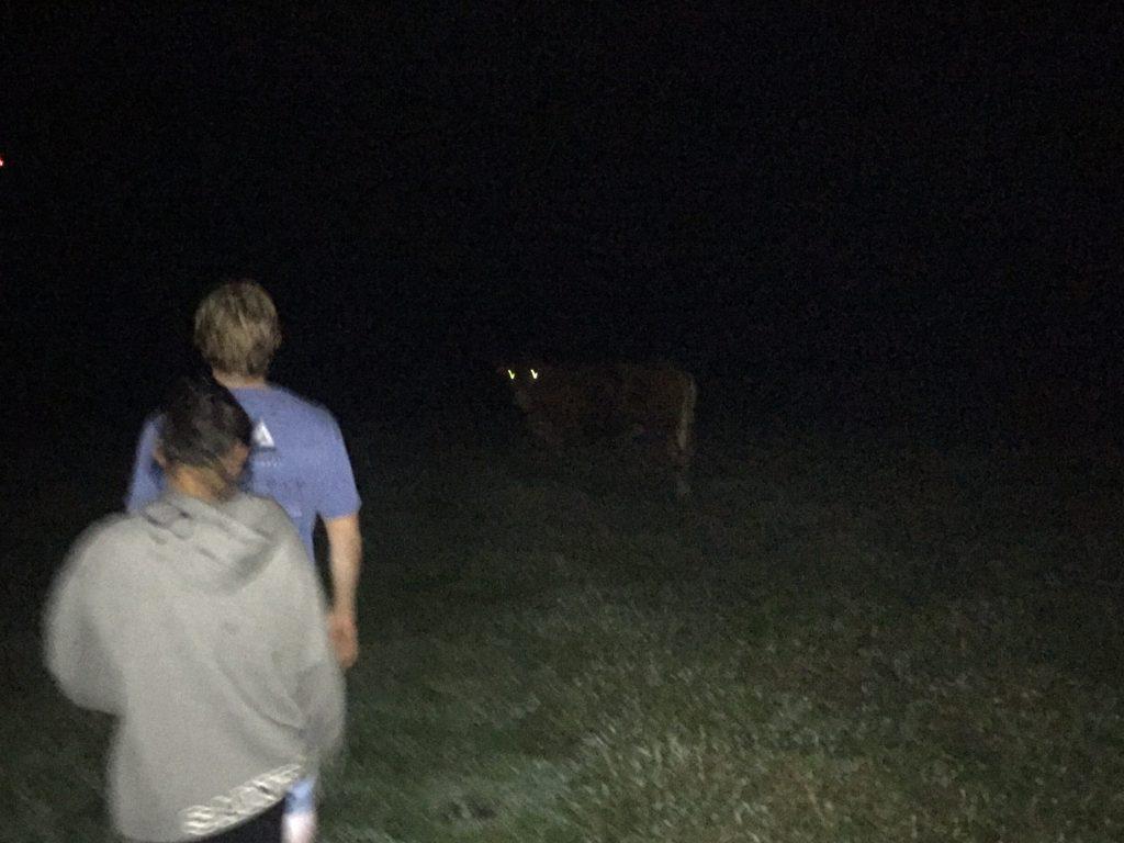 Cows at night