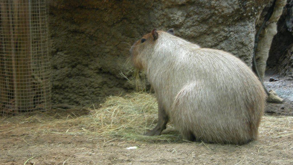 CosmoCaixa Barcelona capybara