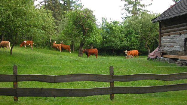 Czantoria Cows