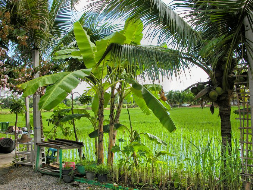 Chiang Mai lemon grass farm