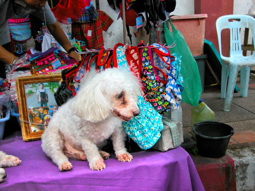 Chiang Mai night market dog