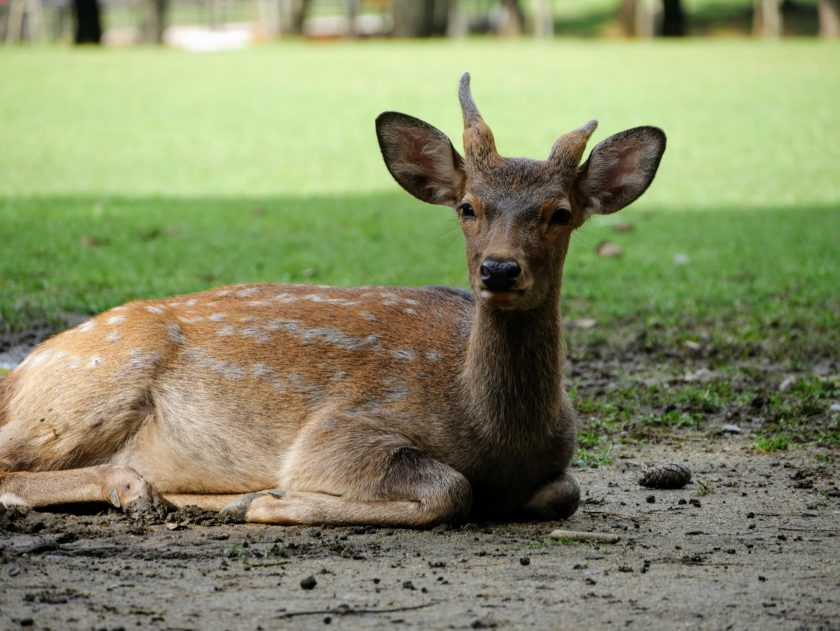Deer laying down