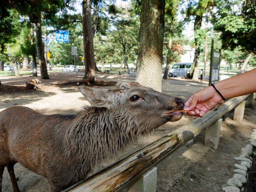 Hand feeding deer