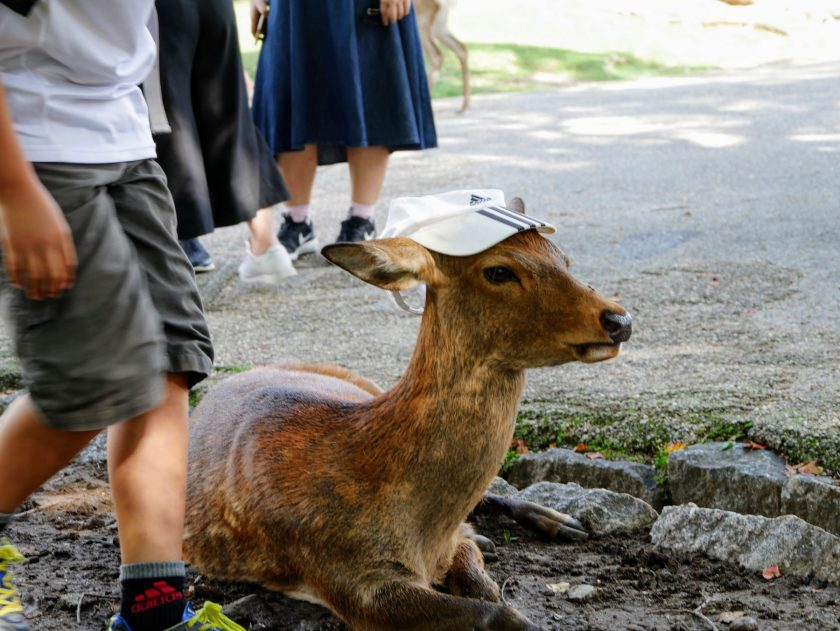 Deer with hat on