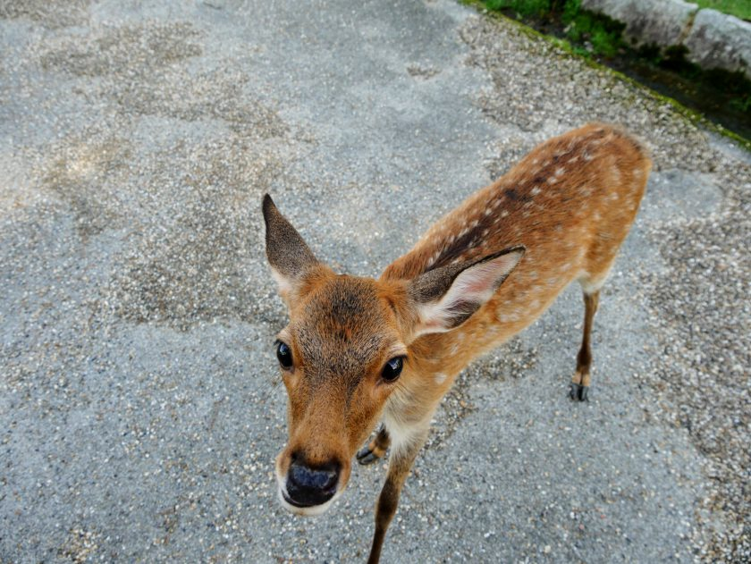 Young fawn in Nara Japan