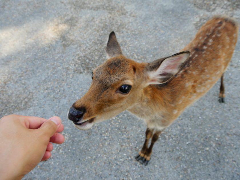 Deer begging