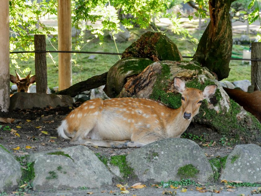 Deer sit together in the shade