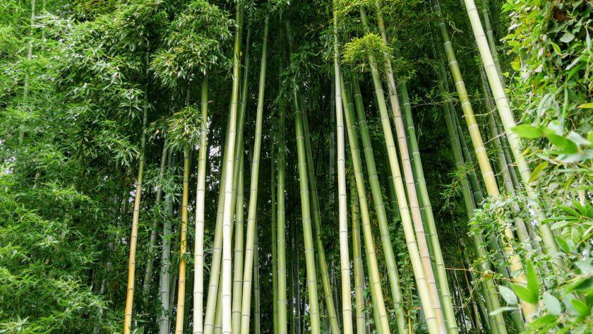Kyoto Japan bamboo